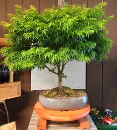 marijuana bonsai tree