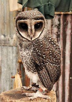 Owl Always Love You - Sooty owl
