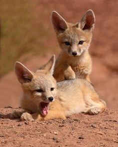 Kit Fox, I can't really imagine anything more adorable