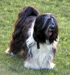 "Tibetan Terrier, ""the Holy Dog of Tibet"":  Considered good luck, kept by monks, & traditionally given as a gift, never sold.  We are madly in love with ours. A word of caution, they pretty much own you and you just find yourself being okay with that. : ) Cute and cuddly!"