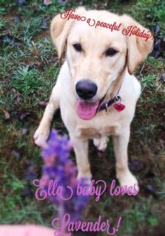 Woof! Ella wishes you a peaceful Holiday! #hoodriverlavender#organic #ella#lab#peaceonearth #hoodriver#lavender#purple #dog#pet#aromatherapy