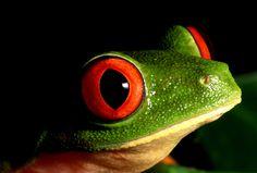 Rana de ojos rojos