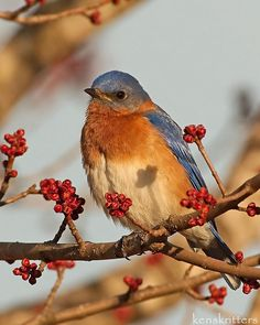 Eastern Bluebird (Sialia sialis) found in Eastern North America from Southern Canada to the Gulf States and to Nicaragua