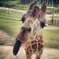 <3 giraffes