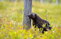 Wolverine (Gulo gulo). Finland. Photo by Vittorio Ricci (at https://www.flickr.com/photos/vricci63/15818178220/).
