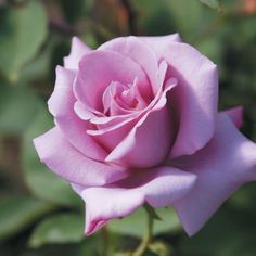 """Blue Girl, Classic high pointed 5"""" blooms of a lavender blue, with rose and lilac fragrance produced on a strong growing upright well foliaged continual blooming bush. Mid-green matte-leaves. This is a winner of the Rome Gold Medal."""