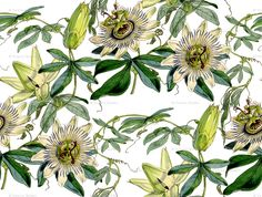 Image from http://s3.amazonaws.com/spoonflower/public/design_thumbnails/0122/8750/rrrPassion_Flower_highres.png.
