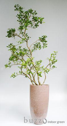 Green Trees, Green Plants, Large Indoor Plants, Plant Identification, Potted Trees, Green Life, Art Furniture, Ikebana, Garden Planning