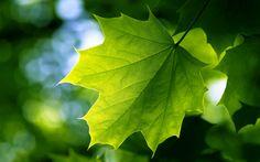 Green Leaves Background 8422 2560 x 1600 - WallpaperLayer.com