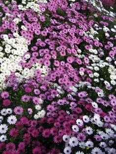 Como cuidar las flores a las que llamamos margaritas