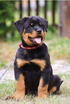 adorable Rottweiler Dog Breed, Rottweiler Love, Australian Shepherds, Smiling Animals, Cute Baby Animals, West Highland Terrier, Scottish Terrier, Cute Puppies, Dogs And Puppies
