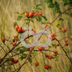 Rose hip Video Background, Baltic Sea, Archipelago, Finland, Scandinavian, Autumn, Photo And Video, Rose, Flowers