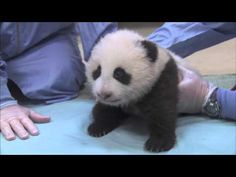 Crawling & Squeaking - Panda Cub 10th Exam