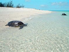 rare look at sea turtles on Wilson Island a private great barrier reef island Giant Sea Turtle, Turtle Love, Sea Turtles, Great Barrier Reef, Best Resorts, Exotic Places, Shark Week, Queensland Australia, Underwater World
