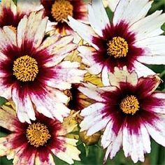 Coreopsis grows 12 to 18 inches tall and wide. A Perinnial that would look good in either the Big Tree Garden or the Front Garden as it likes full sun. Love the coloring! ZONE 5-9