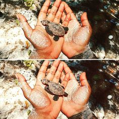 How many people can say they've held a tiny, Critically Endangered Hawksbill turtle hatchling, before releasing him into the big blue? Wildlife Conservation, Seychelles, Turtle, Big, People, Turtles, Tortoise, People Illustration, Folk