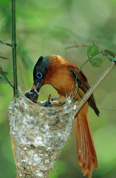 Malagasy Paradise Flycatcher: Comoros, Madagascar, Mayotte.