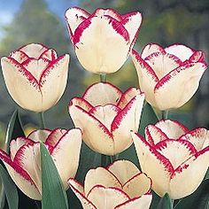 Mati Hara Tulips from Breck's Bulbs.
