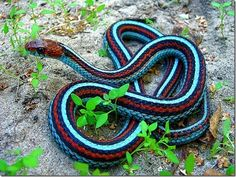 These Colorful Snakes Are Among The Most Beautiful Creatures On The Planet Pretty Snakes, Cool Snakes, Colorful Snakes, Beautiful Snakes, Colorful Animals, Cute Animals, Wild Animals, Beautiful Creatures, Animals Beautiful