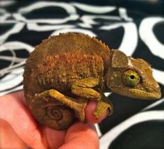 I hope you guys like Chameleons - Your Fun Pics