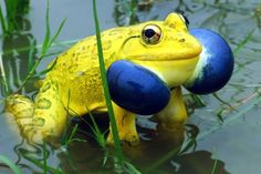 This is a Yellow Blue Indian bullfrog! They are big but very cool looking frog:)