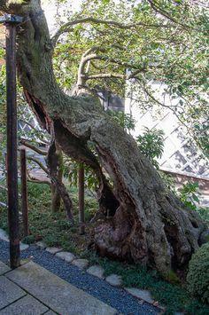 Osmanthus - Mr. Iwasaki adta ezt a régi fa egy billage headman élt Takeda-shi Oita prefektúrában.  Az életkor a fa körülbelül 800 év.