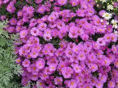 Image result for aster rosenwichtel European Garden, Aster, Perennials, Gardens, Plants, Image, Outdoor Gardens, Plant, Perennial