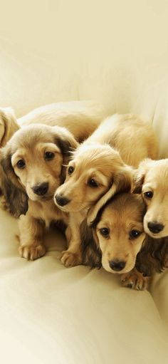 Puppy Retriever Family Animal #iPhone #X #wallpaper
