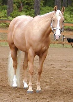 Nice palomino....stock type horse quarter horse western pleasure