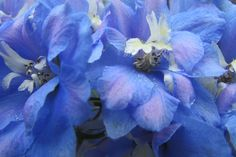 Budding and Blooming Photo Contest | Blue Violet