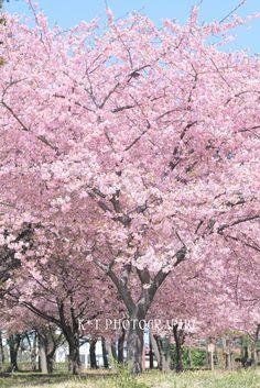 春,春,桜〜〜♪|Kawaii~♪Hunter Journal * nagoya