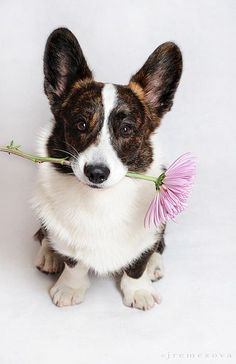 I love big dogs but want a corgi. Cardigan Welsh Corgi Puppies, Pembroke Welsh Corgi, Corgi Dog, Pet Dogs, Cute Corgi, Cute Puppies, Dogs And Puppies, Animals And Pets, Cute Animals
