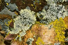 Rock Lichens #255    San Diego CA, United States