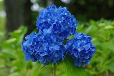 Blue hydrenga