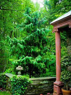 Weeping Alaska Cedar - what a beautiful tree! Evergreen Garden, Evergreen Trees, Trees And Shrubs, Weeping Alaskan Cedar, Weeping Trees, Cedar Garden, Backyard Trees, Specimen Trees, Cedar Trees