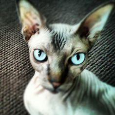 Hairless Cat ♥