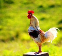 Rooster...crack of dawn.  Wish we could have a rooster in town, but it's against city code.