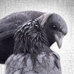 RAINY DAY LOVE - Fine Art Print, Crow/Raven Portrait Series | June Hunter Images
