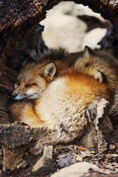 "earth-earthlings: "" Fox Village by Lauren Elizabeth Pirie Bath "" Fantastic Fox, Fabulous Fox, Animals And Pets, Baby Animals, Cute Animals, Beautiful Creatures, Animals Beautiful, Fuchs Baby, Cute Fox"
