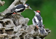 Great Spotted Woodpecker (Dendrocopos major) is distributed throughout Europe and northern Asia