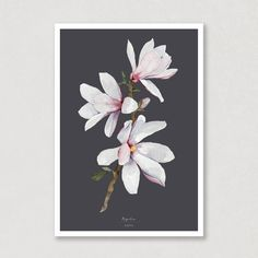 A beautiful poster with magnolias on a branch, with a charcoal background. I've paintet this poster with watercolours, and on my website you can choose between 6 different background colours. Don't you love how much the whole look changes? 🎨🌸 #magnolia #magnoliabranch #poster #art #aqva #watercolour Watercolor Postcard, Watercolor Artwork, Watercolor Paper, Magnolia Branch, Magnolia Flower, Poster Colour, Beautiful Posters, All Poster, Spring Time