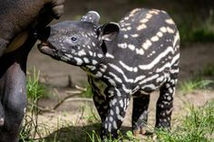 Tapír čabrakový (Tapirus indicus) - Zoo Praha někdy též tapír indický, je savec patřící do řádu lichokopytníků, čeledi tapírovitých. Na rozdíl od svých příbuzných, obývajících Latinskou Ameriku, žije v Jihovýchodní Asii. Malý tapír čabrakový se narodil v neděli 19. dubna 2020. Jedná se o historicky druhé mládě tapíra čabrakového narozené v #ZooPraha. 27. 4 byl pokřtěn jménem Morse. Informaci o křtu donesl přímo ze Zoo Praha signál morseovky do celé Evropy. Jedinečná událost v novodobé… Animals, Instagram, Asia, Animales, Animaux, Animal, Animais