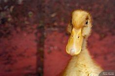 Little duckling Bird, Pictures, Animals, Photos, Animales, Animaux, Birds, Animal, Animais