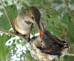 mom feeding baby hummingbirds