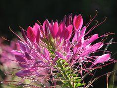 La Flor araña que más nos gusta