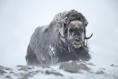 Black and White Animal Photography Photography Awards, Wildlife Photography, Animal Photography, Photography 101, Large Animals, Animals And Pets, Wild Bull, Munier, Musk Ox