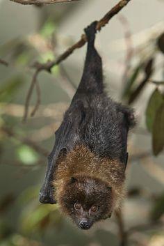 Rodrigues fruit bats make us squeee!