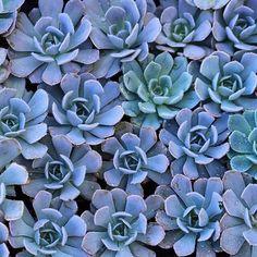 Baby Blue Succulents. Photo by Dalla Vita.
