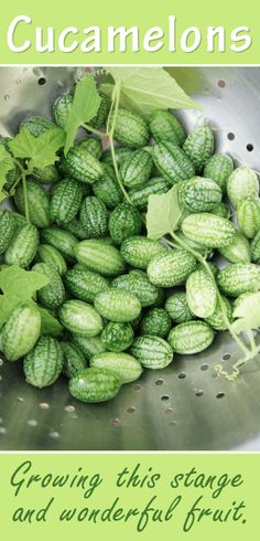 Cucamelons are tiny cucumbers  also known as the Mexican Sour Gherkin or Sandiita, which means little watermelon in Spanish.