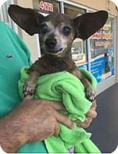 Venice, FL - Chihuahua Mix. Meet Mel, a dog for adoption. http://www.adoptapet.com/pet/18834770-venice-florida-chihuahua-mix